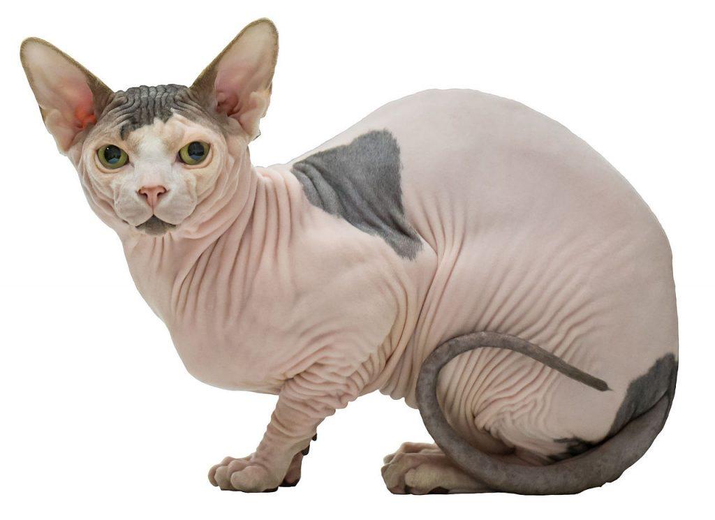 precio gato sin pelo